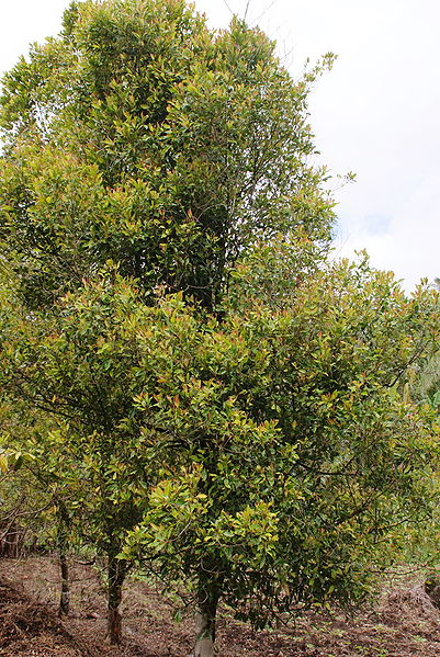 Picture of Clove Tree