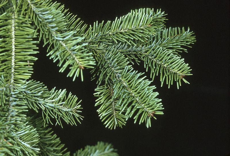Image of Fir Branch