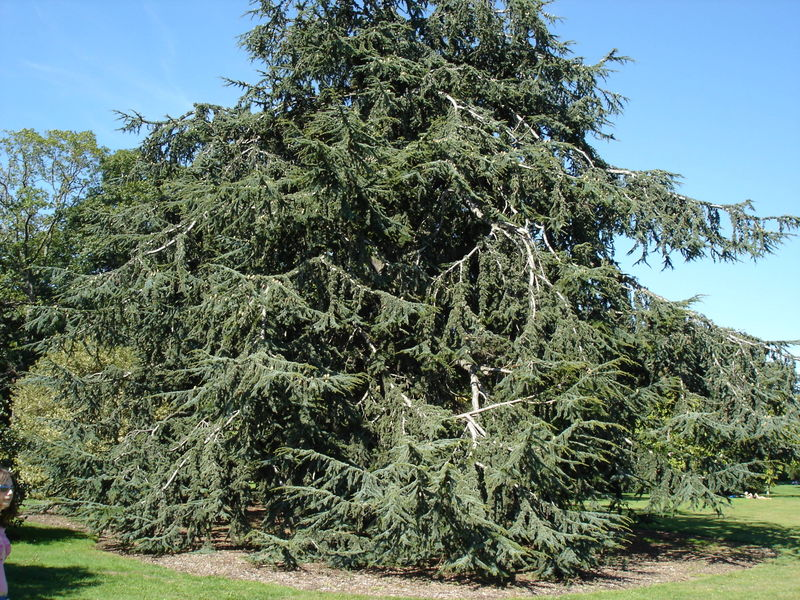 Image of Mature Atlas Cedar tree.