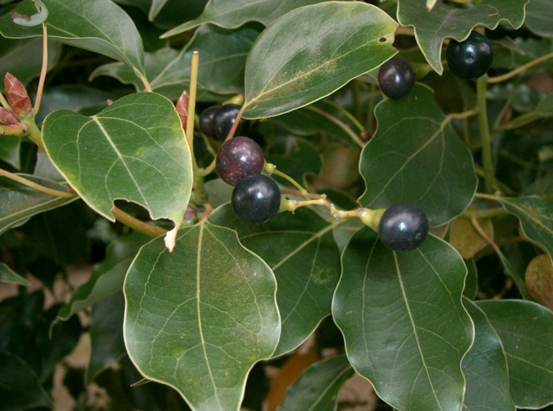 Picture of Camphor Tree leaves and berries.