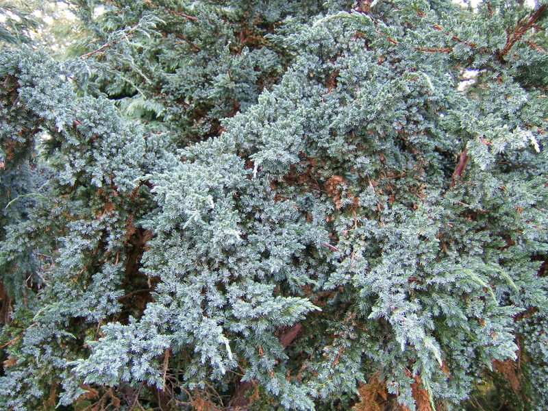 Closeup of Juniper foliage