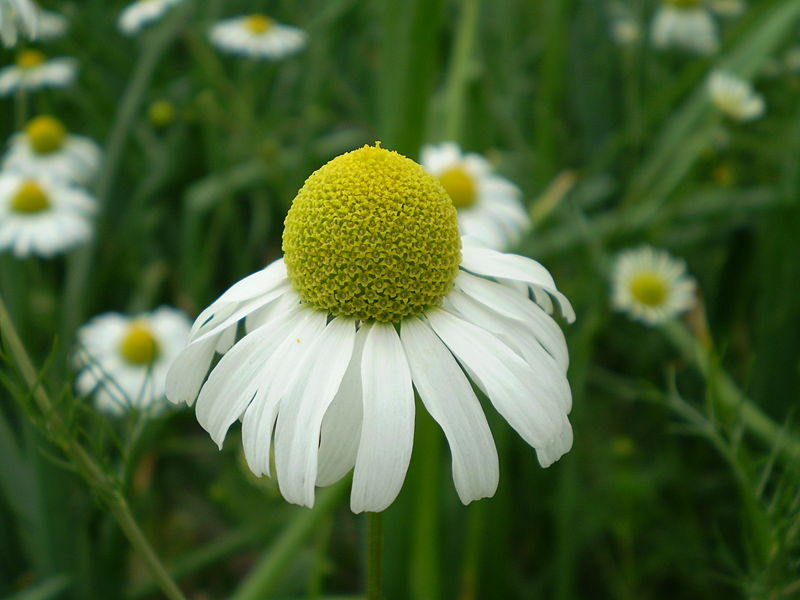 Image of Chamomile flower