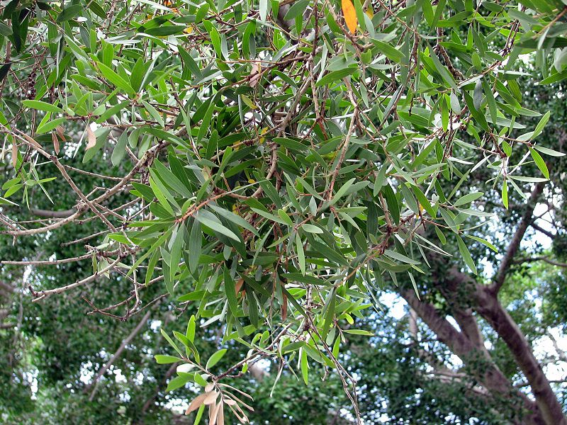 Picture of Cajeput Tree Leaves