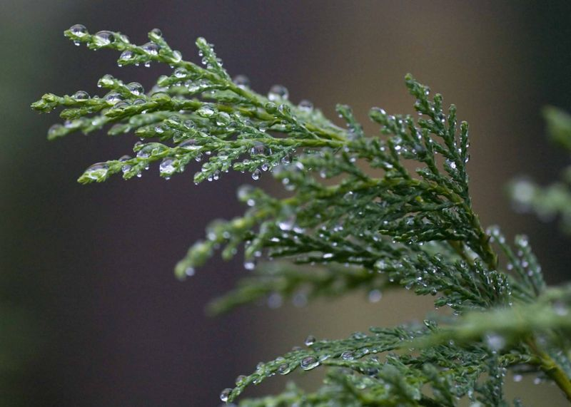 Picture of raindrops on blue Leyland Cypress - Callitris intratropica.