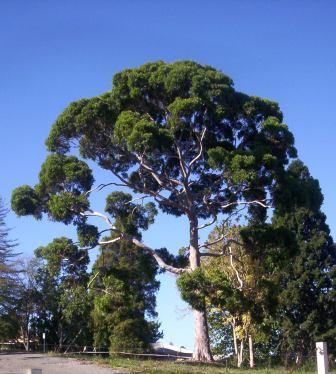 Image of mature Eucalyptus citriodora tree