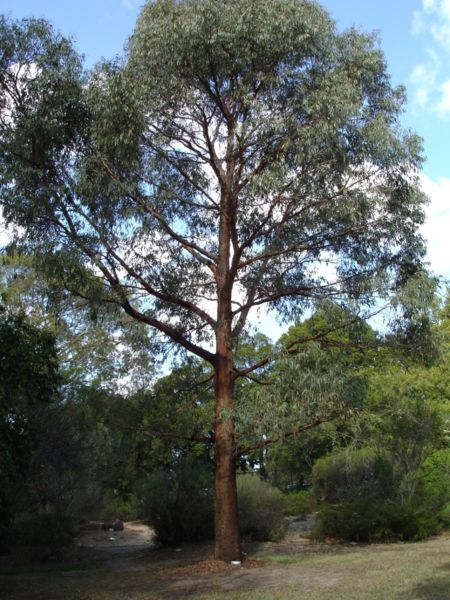 Image of mature Eucalyptus radiata tree