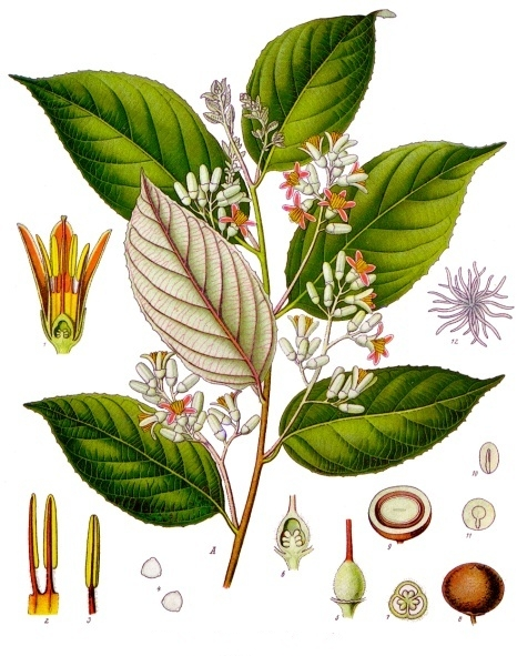 Picture of Benzoin - Styrax tonkinesis.