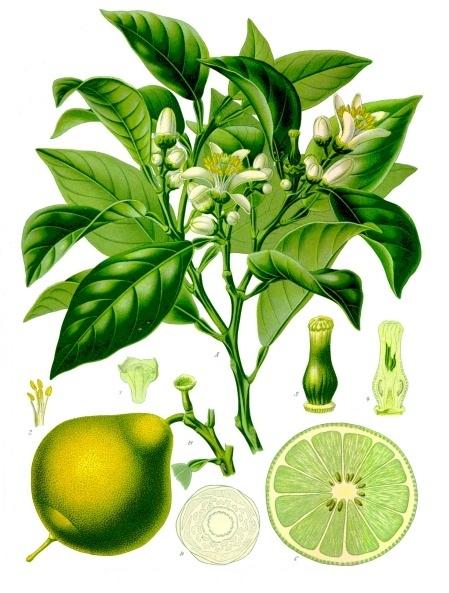 Picture of Bergamot - Citrus bergamia.