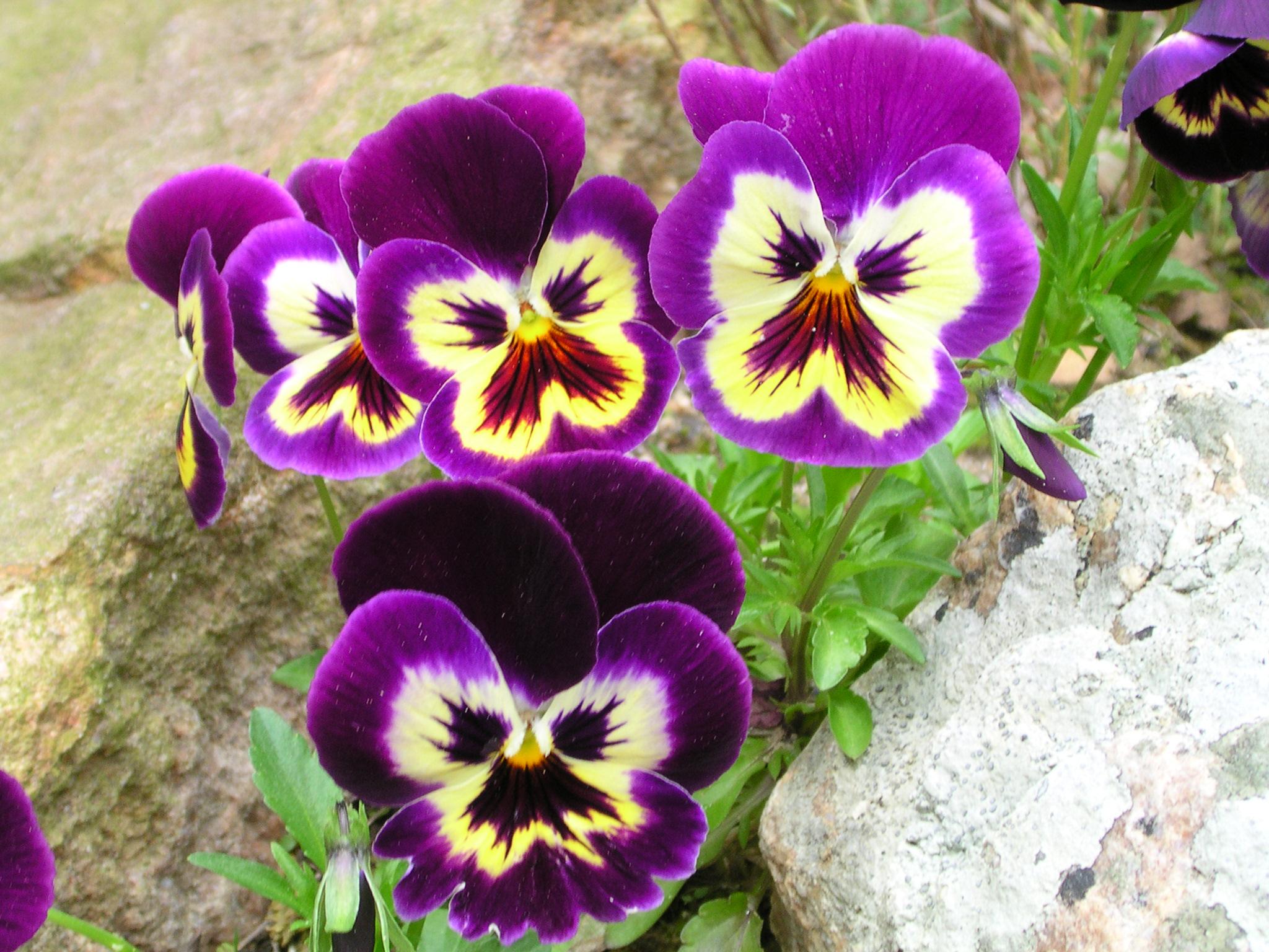 Closeup image of purple pansy flowers