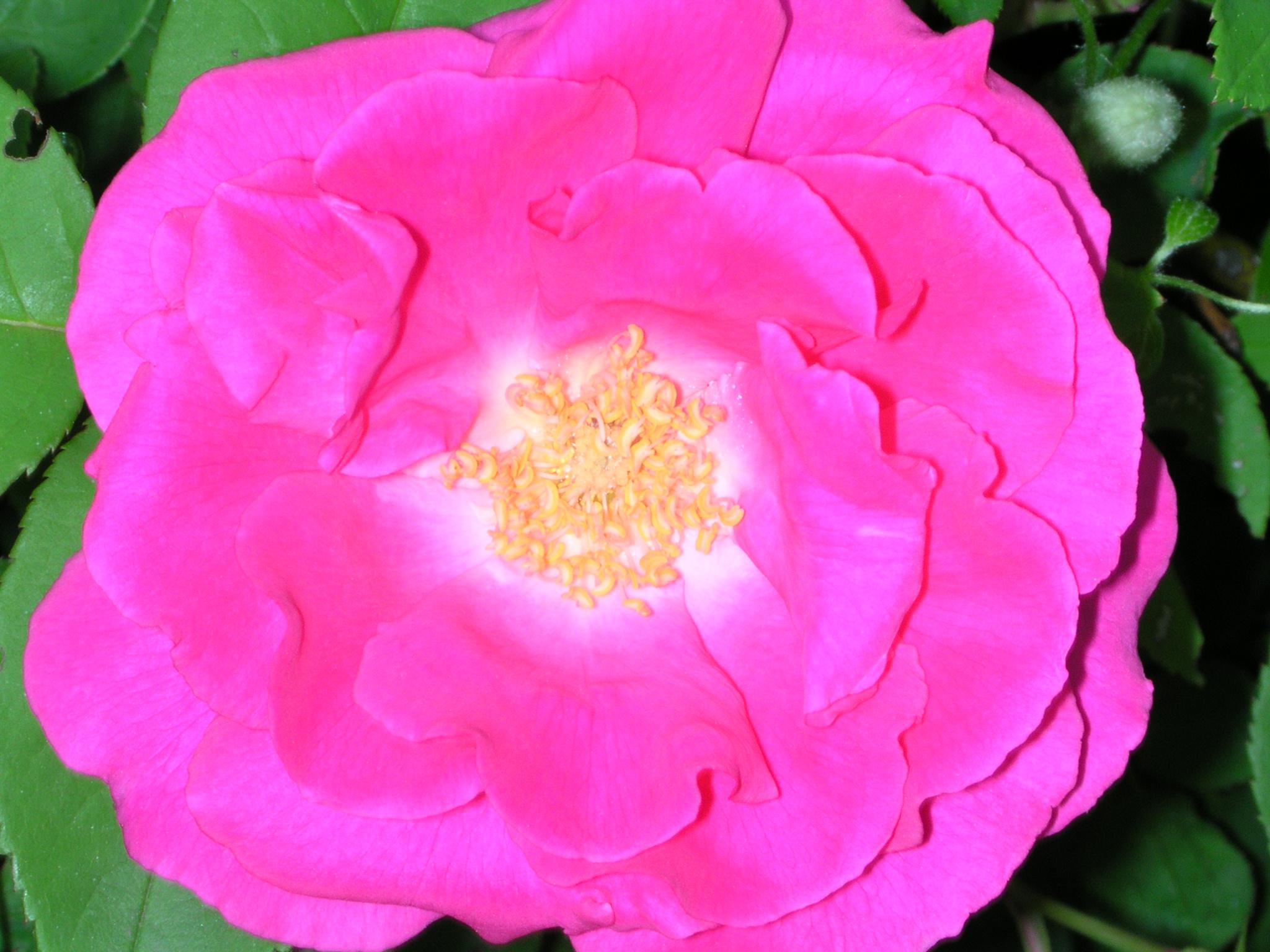 Closeup image of blooming pink rose
