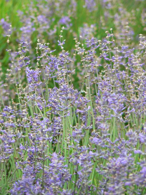 Picture of Blooming English Lavender Plant