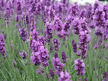 Image of blooming lavender